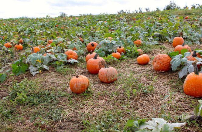 soergels pumpkin field